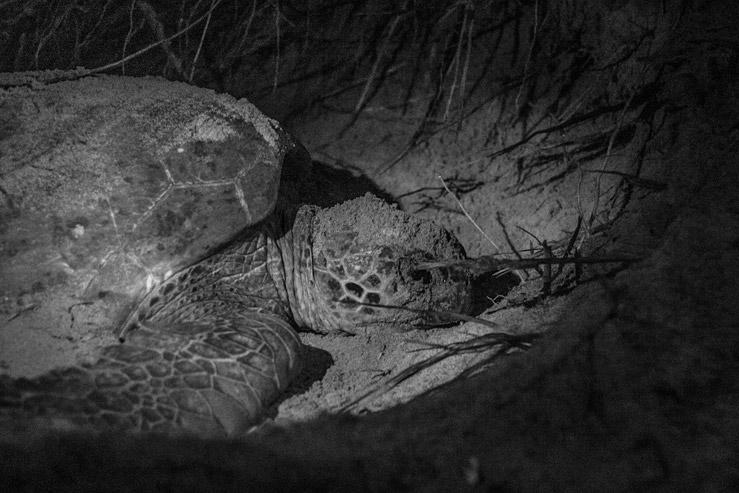 Veľká korytnačka zelená počas kladenia vajec na pláži Srí Lanky