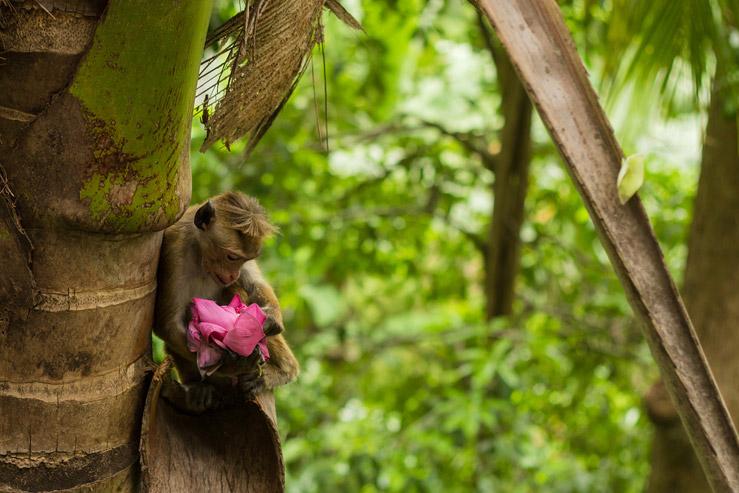 Opica v lese pri kláštore na Srí Lanke